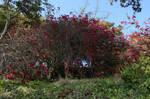 Wild Rose Bush Plant Stock Photo 0008 FAVE