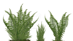 Fern Foliage PNG Stock Photo 2081 Assorted Ground