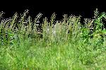 Tall Wheat Grass PNG Stock Photo 0073 Redo by annamae22