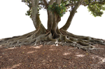 Mangrove Tree PNG  In Landscape Stock 0095