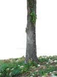 Tree Trunk Vines PNG With Out Flowers Stock 0750