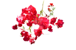 Red Flowers PNG Stock Photo 0531