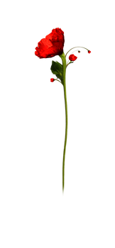 Single Poppy PNG Stock Photo 0089 crop