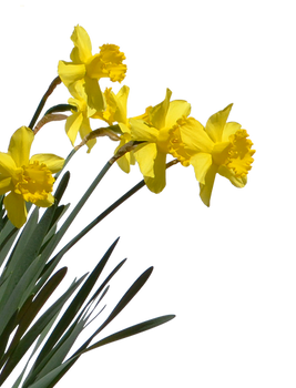 Daffodil Plant PNG Stock Photo 0715- Crop