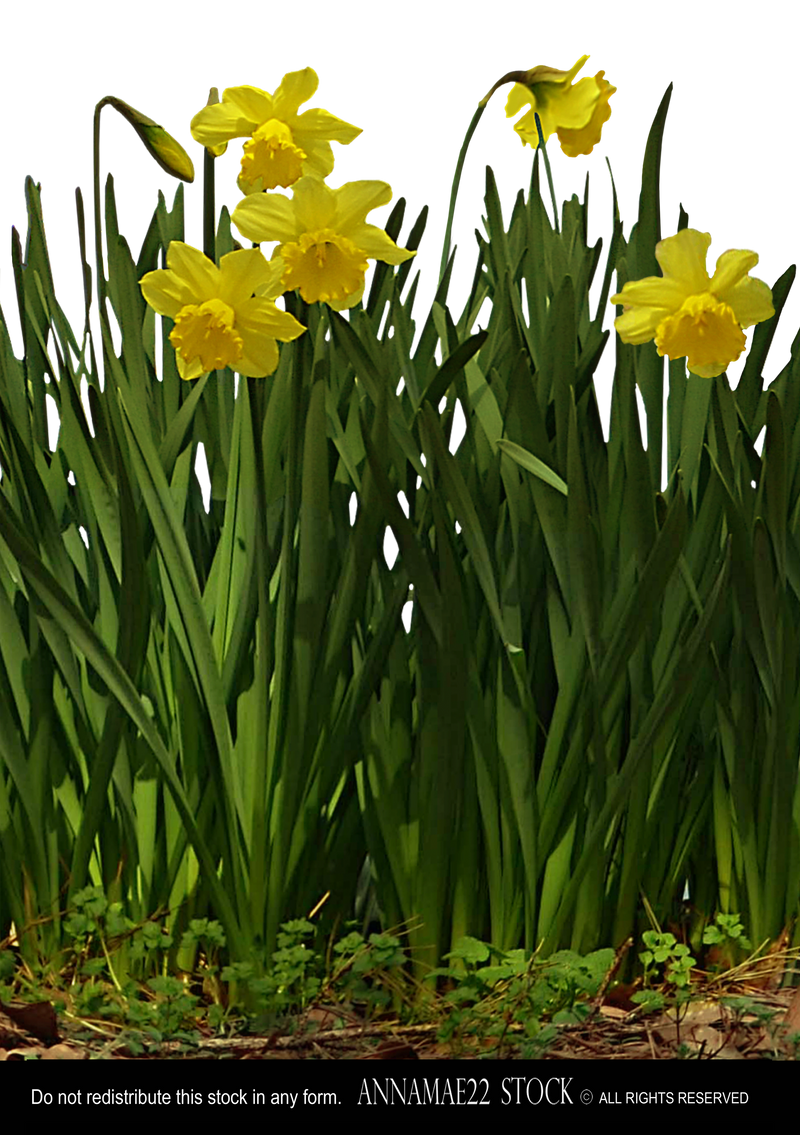 Row of Daffodil Plants PNG Stock Photo 0891 Crop