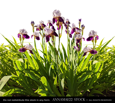 Iris Flower Garden PNG Stock Photo 599 Rough-Cut