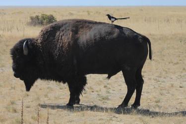 Stock 0113 - Buffalo and Bird by EverythingIsInStock