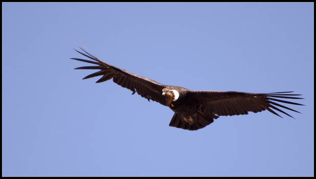 Condor II