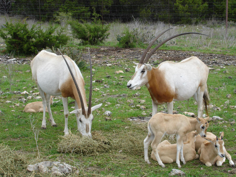 Oryx Family by oolp