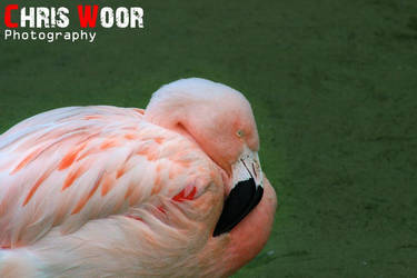 Flamingo by ChrisWoorPhotography