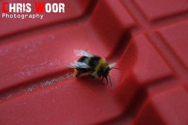 Bee by ChrisWoorPhotography