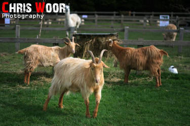 Goats by ChrisWoorPhotography