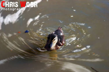 Mallard Duckling by ChrisWoorPhotography