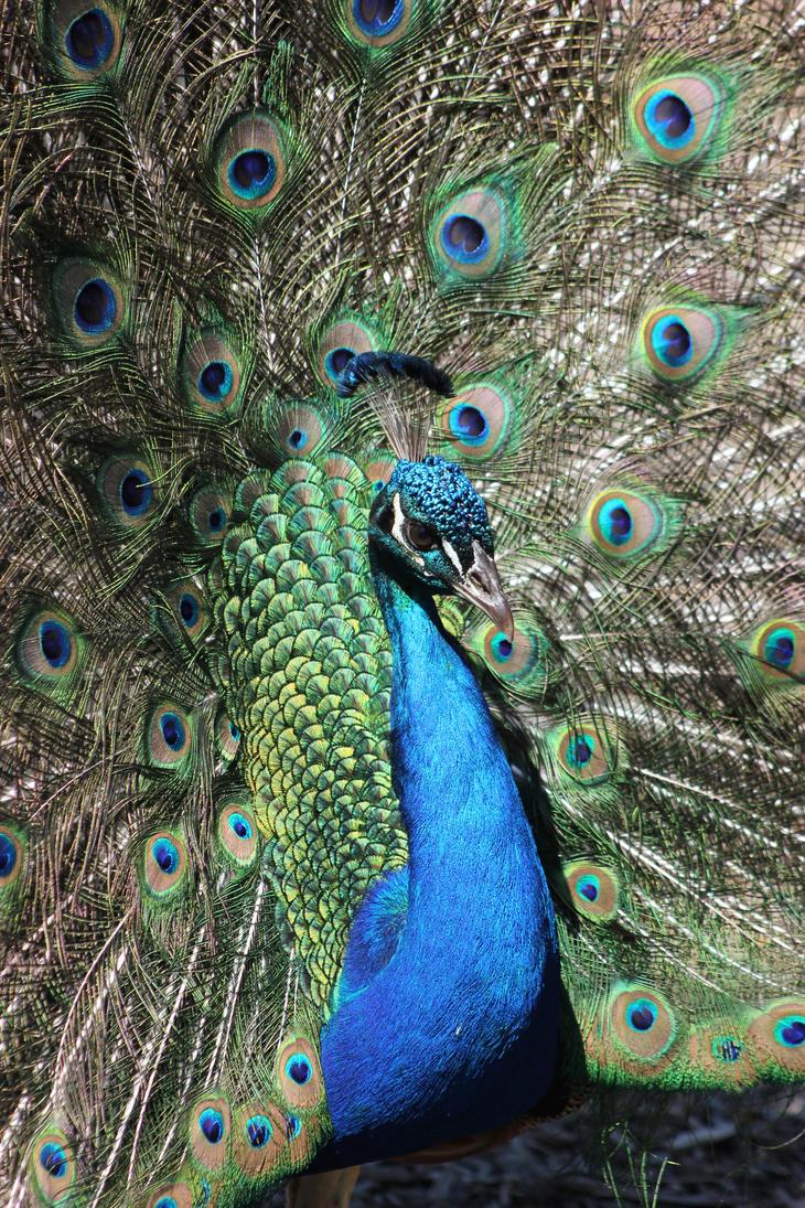 Peacock 2 by BluuJack