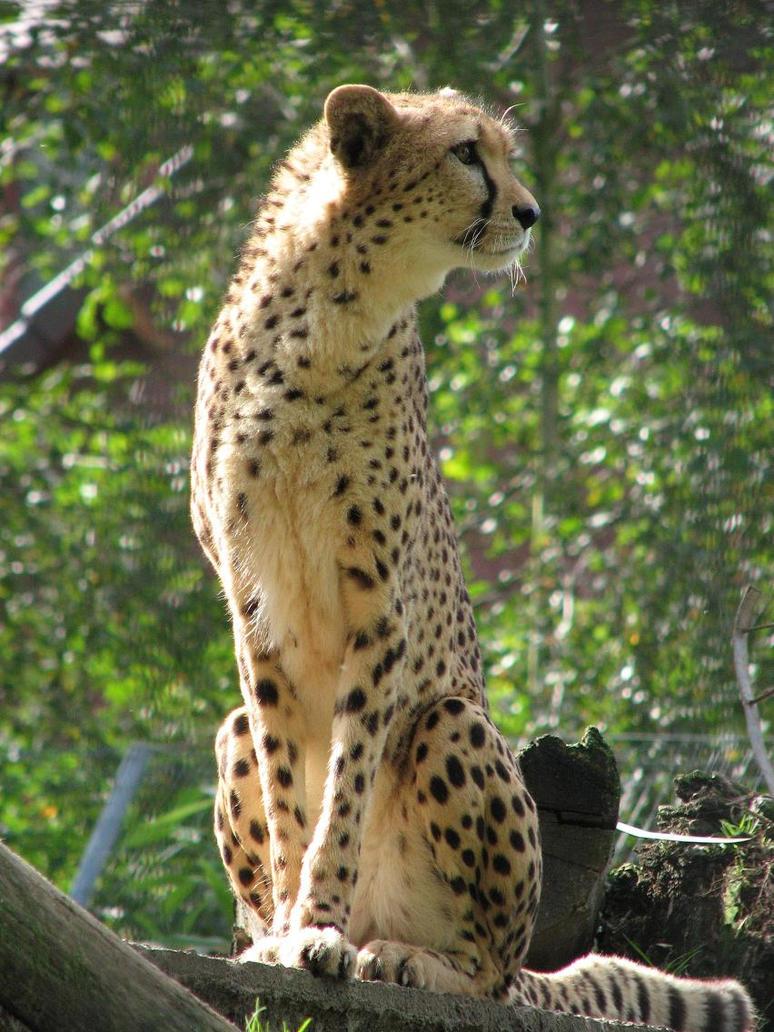 cheetah by iceangel1982