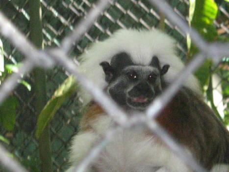 Mono Titi Cabeza de algodon
