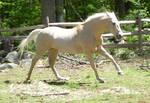 Palomino Horse Gallop