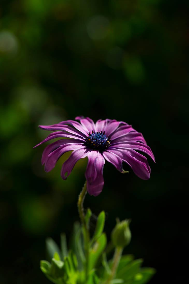 Purple daisy by TaikutsunaMajo