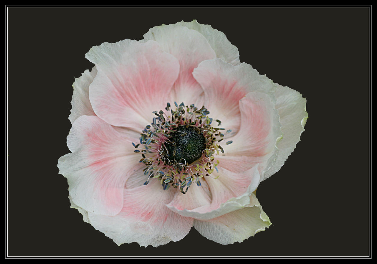 Pale pink anemone by firey sunset on deviantart pale pink anemone by firey sunset mightylinksfo