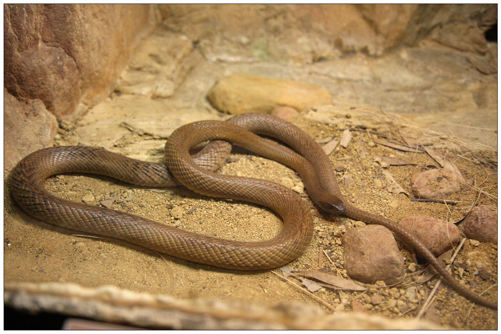 Worlds Most Venomous Snake.. by Firey-Sunset on DeviantArt
