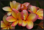 Plumeria Tricolour Maybe..