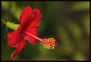 Hibiscus Red Single by Firey-Sunset