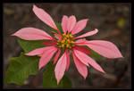 Poinsettia Double Pink