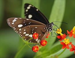 Butterfly: Common Crow.