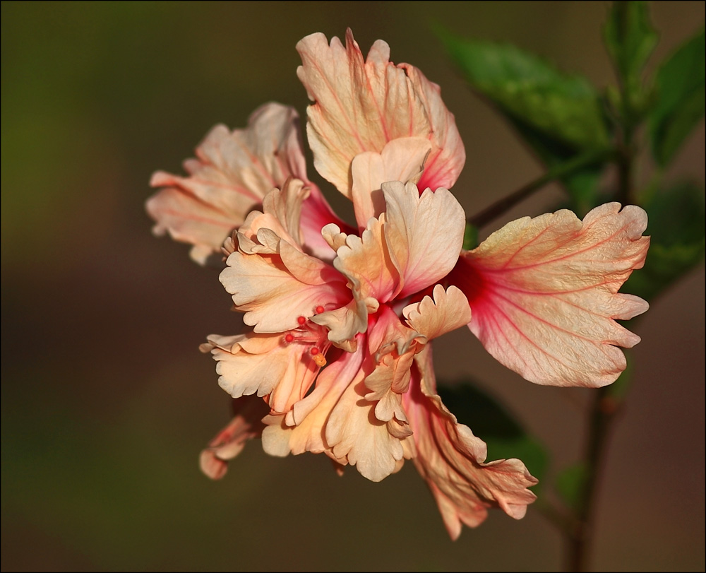 Hibiscus El Capitolio Sport by Firey-Sunset
