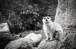 Meerkat staring directly at camera
