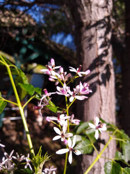Chinaberry flowers