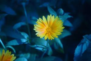 Yellow flower blue filter by daemon-spyder