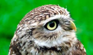Little Owl by daemon-spyder