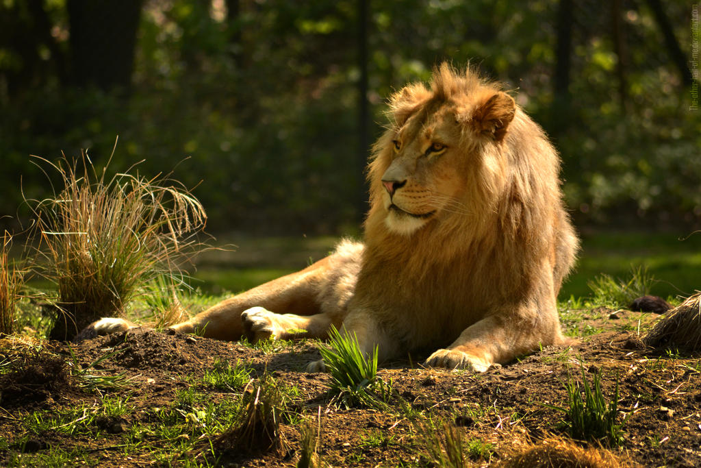 Lion II by The-Other-Half-Of-Me
