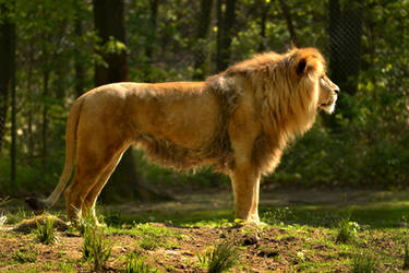 Lion by The-Other-Half-Of-Me