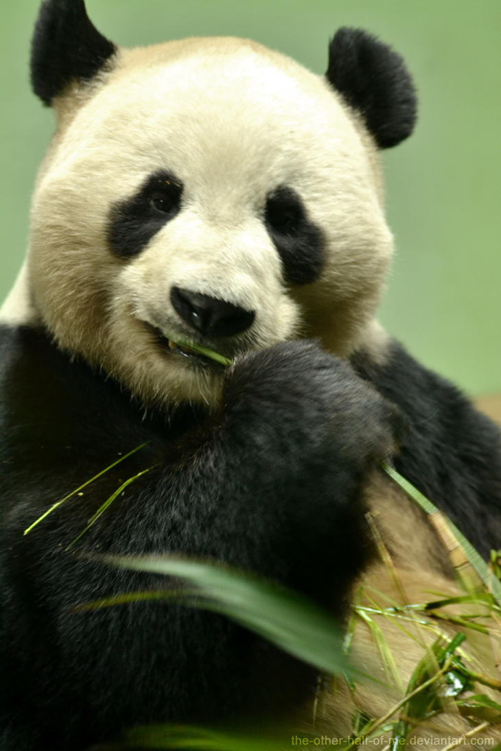 Giant Panda by The-Other-Half-Of-Me