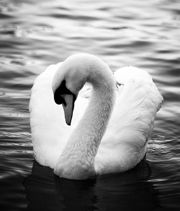 http://fc09.deviantart.net/fs37/i/2008/247/6/e/Swan_by_illpadrino.jpg