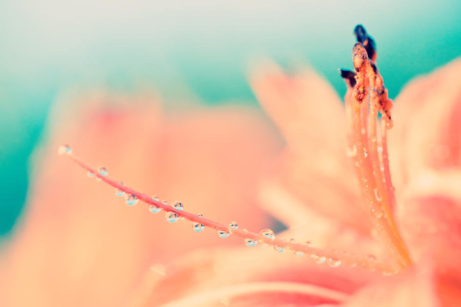 Daylily by Matthias-Haker