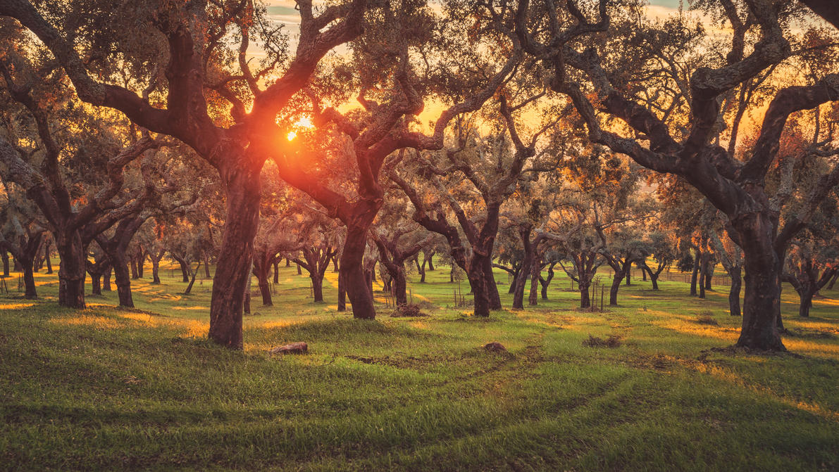 Sunset in Between the Cork Oaks by Matthias-Haker