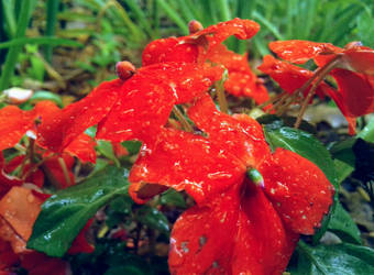Wet Impatiens by emilycfpa