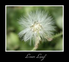Flower after flowering season by ljungh