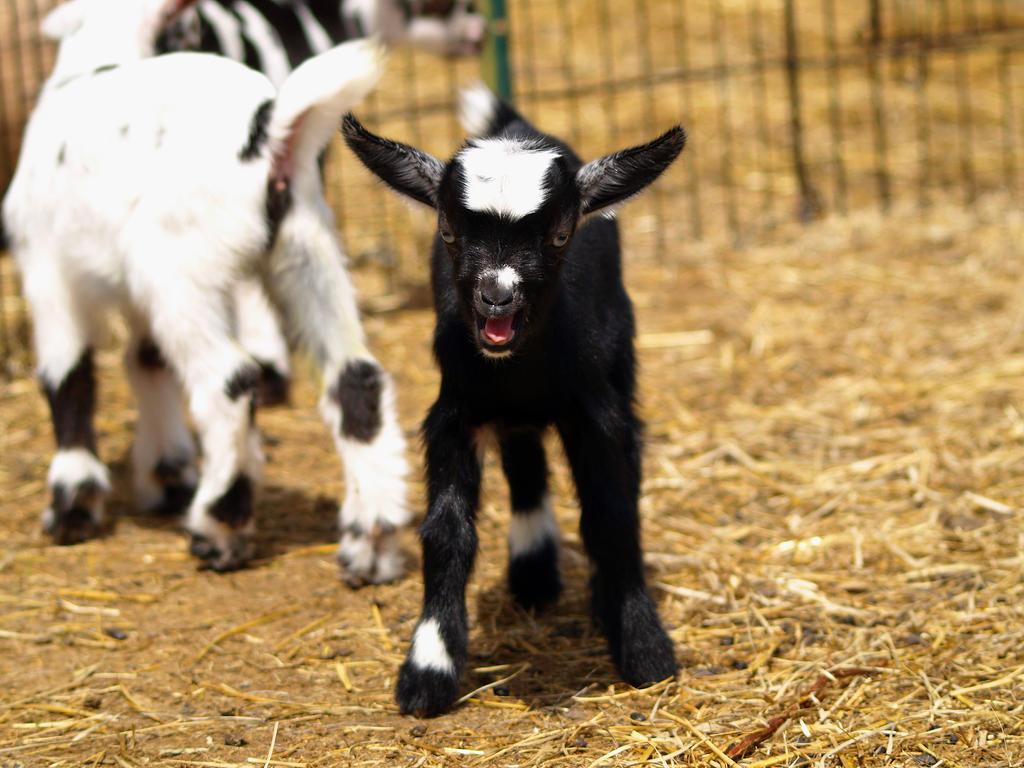 Baby Goats 4 by Dracoart-Stock