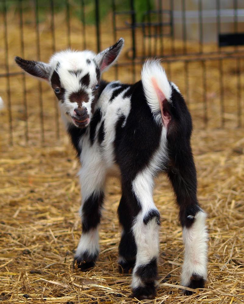 Baby Goats 5 by Dracoart-Stock