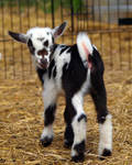 Baby Goats 5