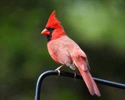 Cardinal Stock