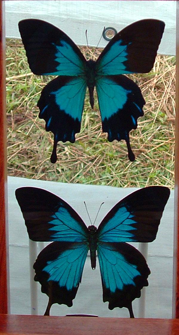 Dracoart-Stock Butterflies