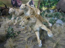 Lions by Dracoart-Stock