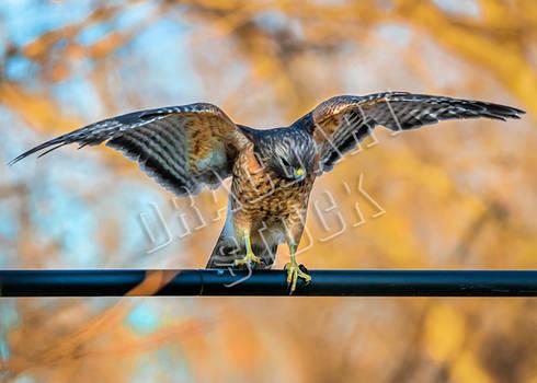 Hawk Stock 2