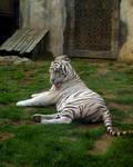White Tiger at G.A.