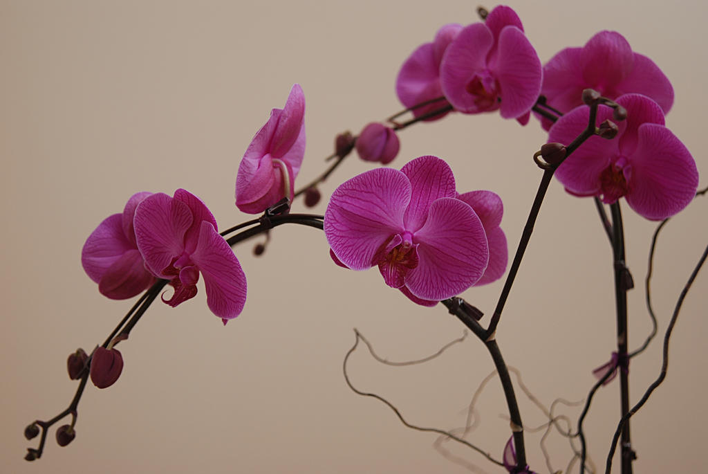 Orchid I by arieneforeveryoung
